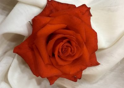 Red Rose on Cloth